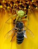 Паучишка убил пчелу в одно движение...
