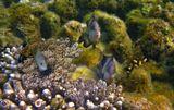 Темный Стегастес, Красное море