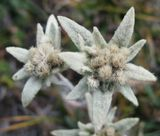 В моем представлении Эдельвейс всегда был каким-то чудным, очень красивым, изысканным что ли цветком. При подъеме на ледник Отгонтынгер увидел его. Сначала было какое-то разочарование. Сейчас вот смотрю и думаю, что все-таки он красивый... :-) Осознаю, что качество снимка не ахти какое. Выставляю чтобы просто посмотрели. Можно без оценок :-)