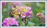 С утра до вечера в Турции,пчёлки трудятся на благо природы...