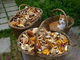 Маленький рыжий котёнок охотно сел в грибную корзинку.