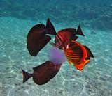 Зебросома- Парусник, Полосатая Рыба- Бабочка.Красное море