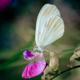 макро, бабочка, цветы