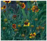 Ранние сумерки жаркого летнего дня... отголосками летнего зноя, и горьковатым запахом цветовКалейнар 5Н