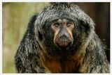 Обитает в лесах и сельве Южной АмерикиБледный саки, бледноголовый саки, Pithecia pithecia, самка, портрет