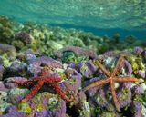 Морская Звезда Фромия Узелковая, Красное море