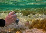 Перечная Мурена, Красное море