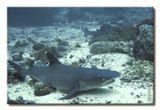 Barracuda Point, Sipadan. Любимое место дневной лёжки акул. Сильное течение.