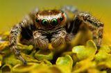 скакун   макро   паук