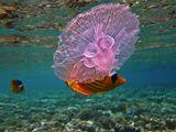 Полосатая Рыба- бабочка, Ушастая Медуза. Красное море