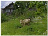 Последняя корова деревни Дмитрово Костромской области