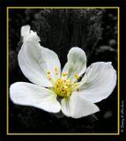 rus:  Морошкаeng: Cloudberry lat:   Rubus chamaemorus L.