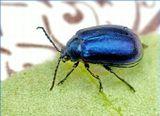 Забавный жук перламутровый,размером мм 6-7, попал в лукошко вместе с брусникой.Cпецы наверняка подскажут название этого довольно шустрого мальца :)))Похоже это разновидность Листоеда ( Chrysolina sturmi ).
