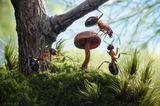 говорят, человек отведавший Муравьиного гриба превращается в муравья, либо забЕгает мурашками и ну считать зелёненьких...)