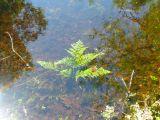 Пруд в Приокском террасном заповеднике очень чистый, видны все детали дна. Подводные растения живут хорошо. Папоротник, вода, заповедник, чистота, экология, отражения, природа, путешествие,