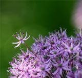 Флора, макро, альпийский лук