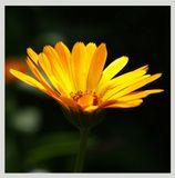 цветы календула лето солнце