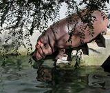 Зоопарк, бегемот