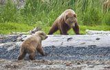 Два медвежонка играли на берегу залива на Аляске.. Один медвежонок постарше :) ( Мамаша справа в кустах)