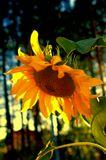 Подсолнух, закат, солнце, дача, осень