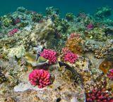 Спинорог Пикассо, Зебросома- Парусник.Коралловое Плато, Красное море.