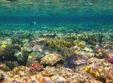 Длинношипая Рыба- Еж, Красное море