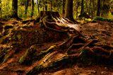 Пейзаж, лес, дерево, корни