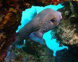Длинношипая Рыба- Ёж, Красное море