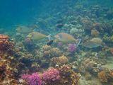 Однорогая Рыба- Носорог, Оранжевошипая Рыба- Носорог, Малочешуйная МохарраКрасное море