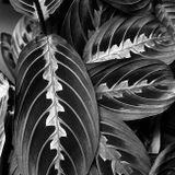 листья, кажется - маранта триколор...