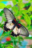 Семейство Papilionidae — дневная бабочка.Местообитания — Индия, Бирма, Таиланд. Отливающие металлическим блеском крылья вводят врагов в заблуждение кажется, что это не бабочка, а голова животного. Крылья в размахе — 10 сантиметров.