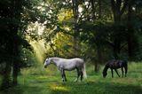 morning horses