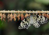 пройдет еще минута - и бабочка отправится в свой первый полет, а пока она расправляет и сушит крылья...