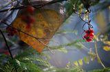 ... или Лимонник китайский (Schisandra chinensis)