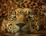 Ягуар (Panthera onca) - доколумбовые индейцы поклонялись ему как божеству. В настоящее время численность ягуаров приблизилась к критическому значению в основном из-за браконьерства на пекарей, главного объекта их охоты и пропитания.