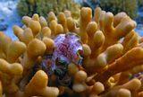 """Брюхоногий Моллюск (Gastropoda) Глоссодорис Окаймленный на коралле Стилопора ВетвистаяВот здесь можно посмотреть моллюска в """"развернутом виде"""":http://content.foto.mail.ru/mail/mvmil56/4357/s-4368.jpgКрасное море"""