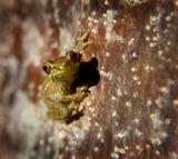 Кубинский карлик или кубинский свистун (Eleutherodactylus limbatus)- одна из самых маленьких лягушек в мире, длина тела самок 11,8 мм, самцов — 11,7 мм. Эндемик Кубы.Ареал очень фрагментированный, состоит из 11 очень маленьких изолированных местообитаний, разбросанных по всему острову. Вид находится на грани исчезновения.