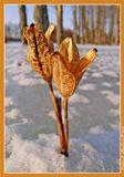 Семенные коробочки Ириса Щетинистого (Iris setosa Pall. ex Link)