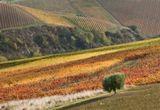 Осенние виноградники