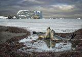морские слоны вырастают до 6,5 метров, весят до 3,5 тонн, а брачные песни слышны ну о-о-очень далеко)) о. Кинг-Джордж, Антарктика