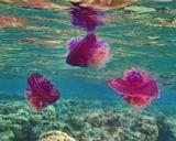 Рисунок танца – деликатный!Он – мягкий, плавный, как волна!В нём танцовщица – элегантна,Так горделива и вольна!..«Танец всех стихий», автор стихотворения Елена БуторинаМедуза Цефея, Красное море