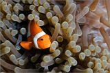 Амфиприон, рыбка-клоун или, по-простому - Немо...) Индонезия, Папуа Новая Гвинея, Раджа Ампат, 2011