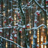 Капала рябинаСпелой ягодой,Снег лежал на ветках,Да подшучивал.Мне б с тобой по жизниНе расстаться бы,Жизни тройку выстегали кучеры...Виктор Райн