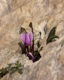 Это дикий цикламен (снято в Греции)...меня поразила его выносливость и желание жить пусть даже и на камнях....