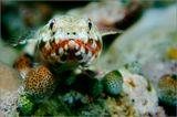 Красный ящероголов (Reef Lizard-fish, Synodus variegatus) - рыба-ящерица, вырастает до 30 см, имеет окраску от коричневой до красной, активный хищник, охотится из засады на мелкую рыбу, постоянно меняя место засады. Индонезия, Папуа Новая Гвинея, Раджа Ампат, 2011