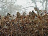 Всю ночь шел снег, а наутро проснулась от оглушительного гомона...это воробьи возмущались погоде... продолжающемуся снегу...детям, загнавшим их на самую макушку огромного куста - Воробьиную горку...А может быть они просто радовались жизни?..)