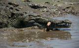Американский острорылый крокодил (Crocodylus acutus) — довольно крупное животное, длиной до 5—6 м. Основной рацион питания — рыба, черепахи, амфибии и мелкие млекопитающие. Этот вид самый неопасный из всех видов крокодилов. Занесен в Международную Красную книгу. Коста Рика. На тихой речке.