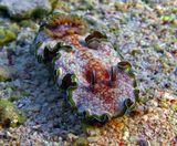 Брюхоногий Моллюск (Gastropoda) Глоссодорис Окаймленный (размер 3- 4 см)Красное море