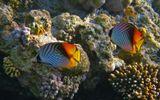 Плыли рядышком две Нитеперые Рыбы- Бабочки... к одной из них (которая слева) стал приставать Чистильщик, и у Бабочки полоски стали менять свой параллельный рисунок, образуя зигзаги... вот такое наблюдала... Красное море