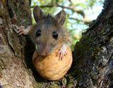 Хмельницкая область. Желтогорлая мышь в заброшенном саду.